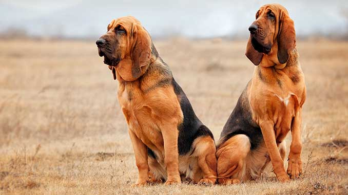 фото пары собак бладхаунд