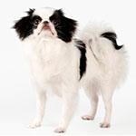 японский хин фото взрослой собаки