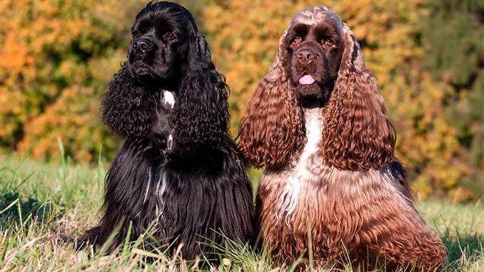 Американский кокер спаниель фото собак
