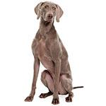 Веймарская легавая фото взрослой собаки
