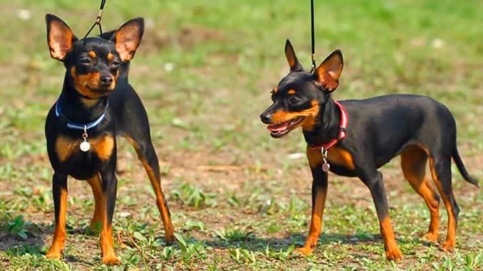 Пражский ратлик фото собак