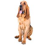 бладхаунд фото взрослой собаки