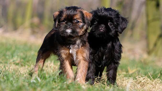 Брюссельский гриффон фото щенков