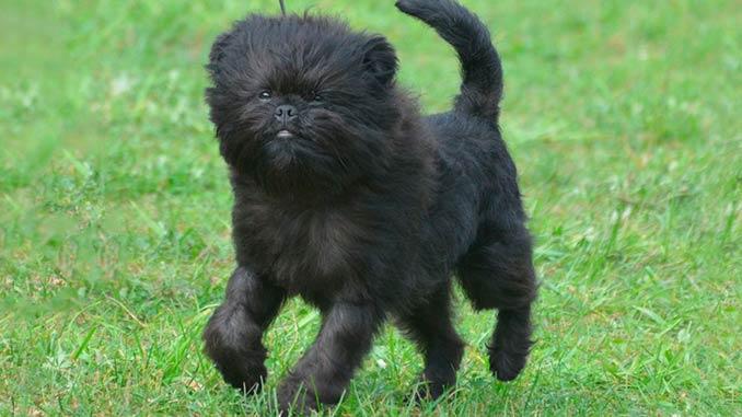 Фото собаки породы Аффенпинчер