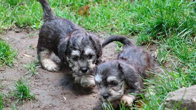 денди-динмонт-терьер фото щенков