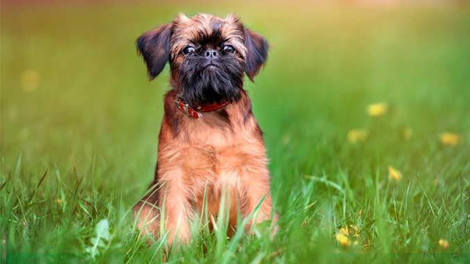 Собака гриффон фото
