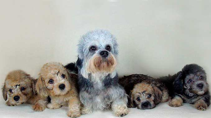 денди-динмонт-терьер фото со щенками