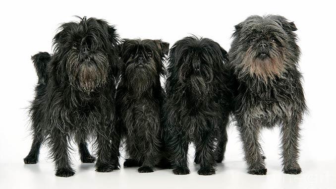 фото собак породы Аффенпинчер