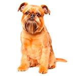 брюссельский гриффон фото взрослой собаки