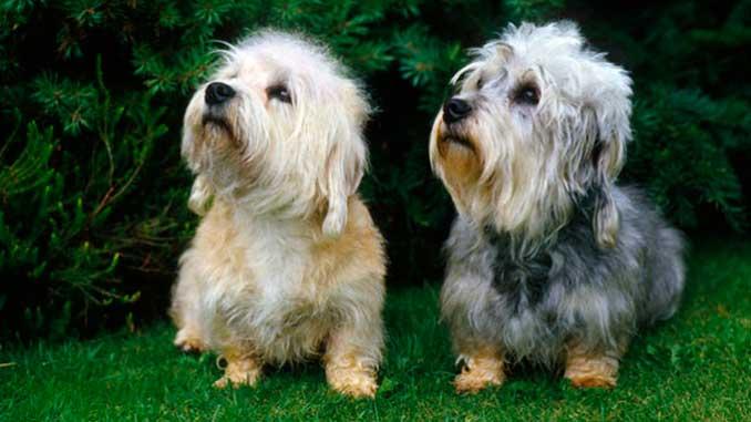пара собак денди-динмонт-терьер фото