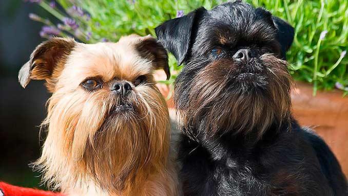 Фото малых бельгийских собак