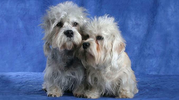 фото собак породы денди-динмонт-терьер
