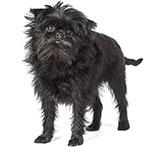 Аффенпинчер фото взрослой собаки