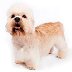 денди-динмонт-терьер фото взрослой собаки