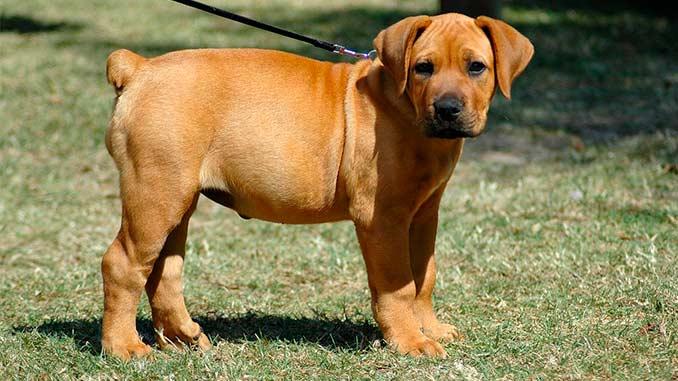 Южноафриканский бурбуль фото щенка