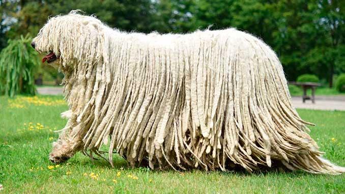 Бергамская овчарка светлого окраса фото