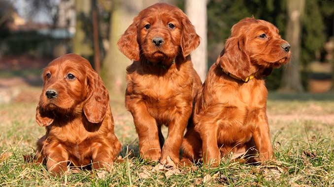 ирландский сеттер фото щенков
