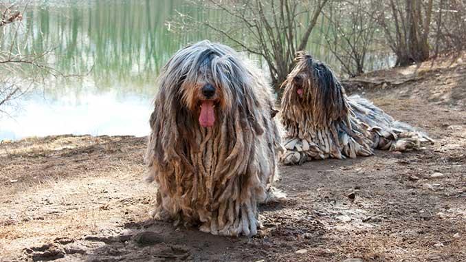 Бергамаско фото собак