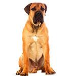 бурбуль фото взрослой собаки