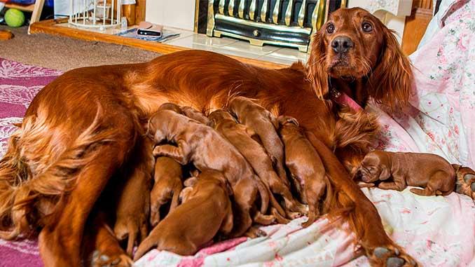 Ирландский сеттер со щенками фото