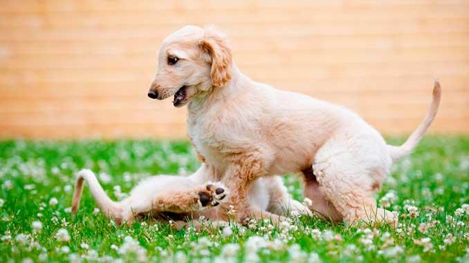 афганская борзая фото щенков