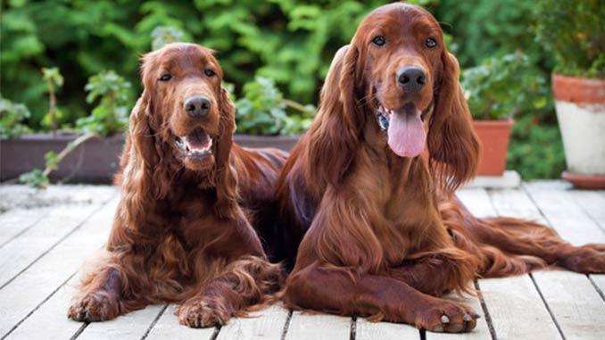фото собак породы Ирландский сеттер