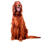Ирландский сеттер фото взрослой собаки