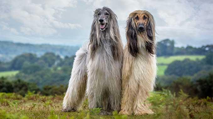 фото собак породы афганская борзая
