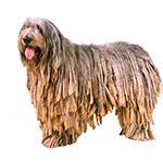 Бергамская овчарка фото взрослой собаки