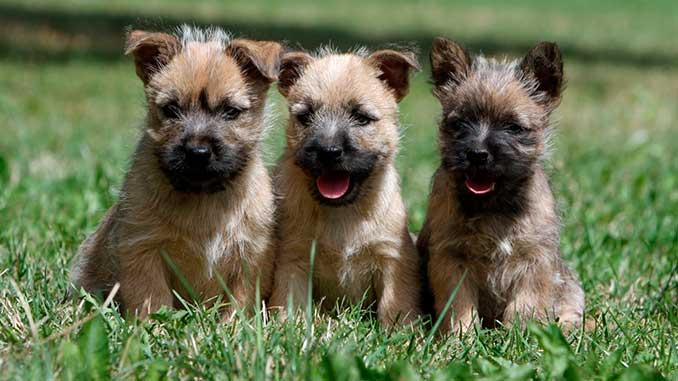 Керн терьер фото щенков