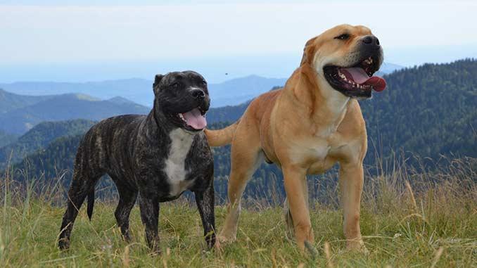 фото собак породы кадебо