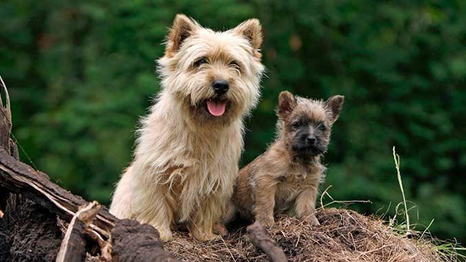 Керн терьер фото со щенком