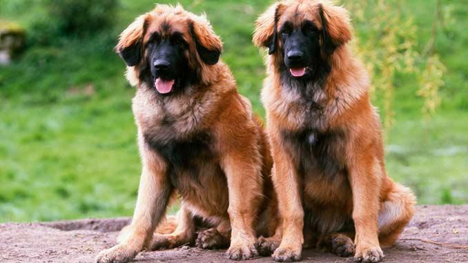 собаки породы леонбергер фото