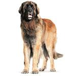 леонбергер фото взрослой собаки