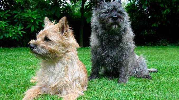 фото собак породы Керн терьер