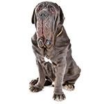 Неаполитанский мастиф фото взрослой собаки