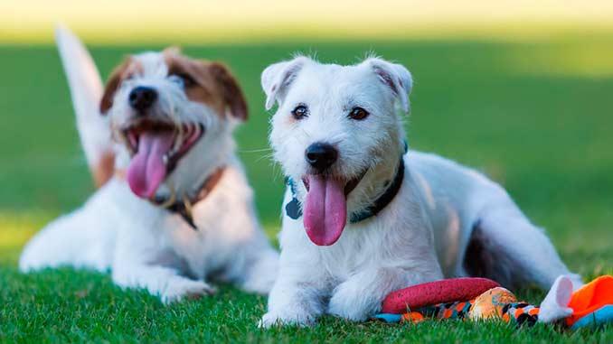 фото собак парсон рассел терьера