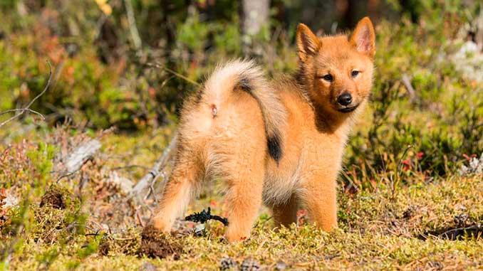 финский шпиц фото щенка