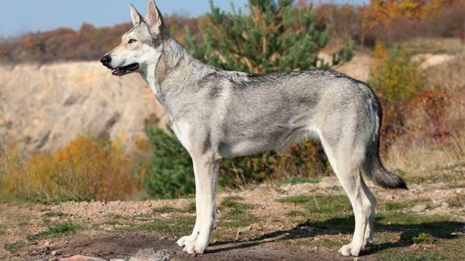 Волкособ серого окраса фото