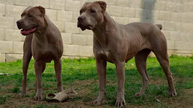 фото собак породы Американский бандог