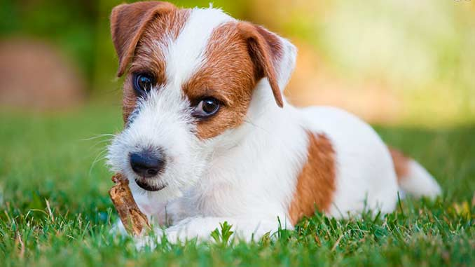 парсон рассел терьер фото щенка