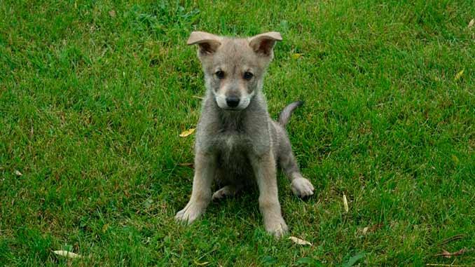 Волкособ фото щенка