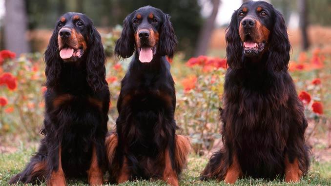 фото собак породы Шотландский сеттер