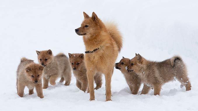 Карело-финская лайка фото со щенками