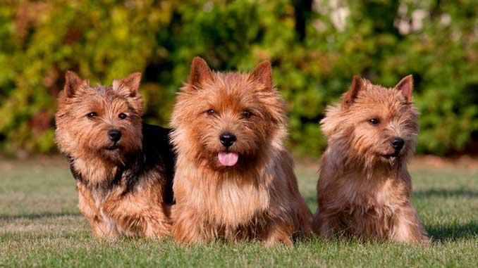 фото собак породы Норвич-терьер