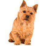 Норвич-терьер фото взрослой собаки