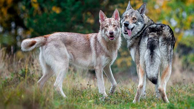 фото собак породы Волкособ