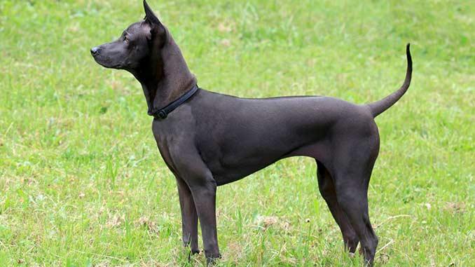 Тайский риджбек черного окраса фото