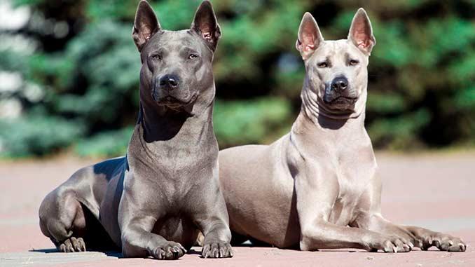 фото собак породы Тайский риджбек