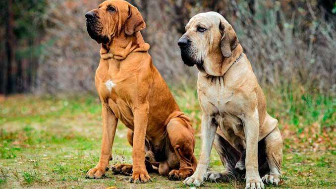фото собак породы фила бразилейро